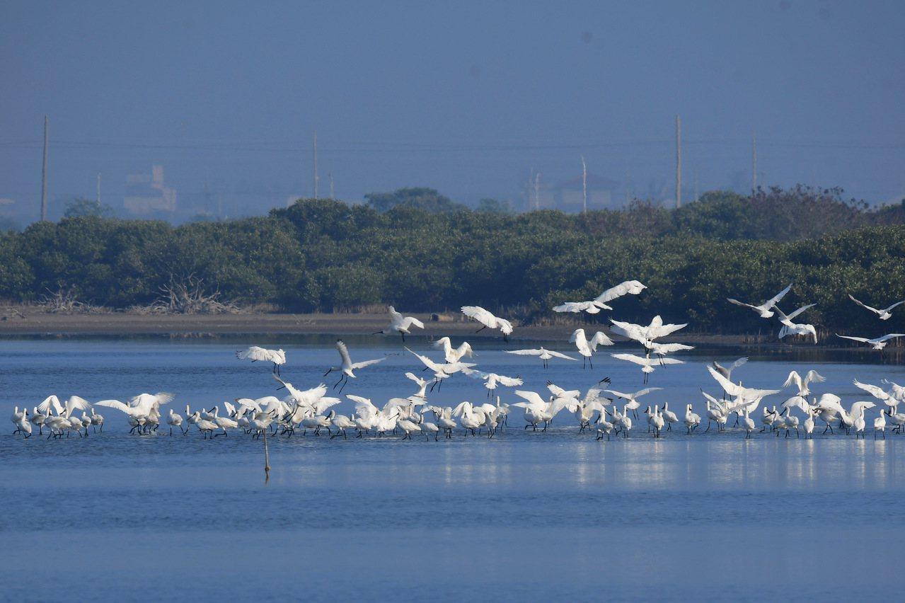 來台度冬黑面琵鷺已破千隻。圖/台南市生態保育學會提供