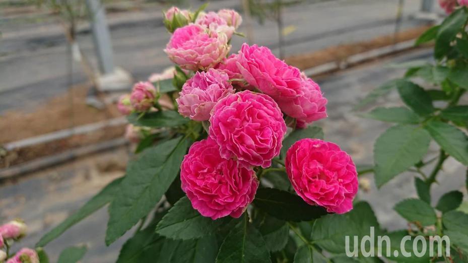 曙光玫瑰有機農場有200多種玫瑰品種。記者卜敏正/攝影