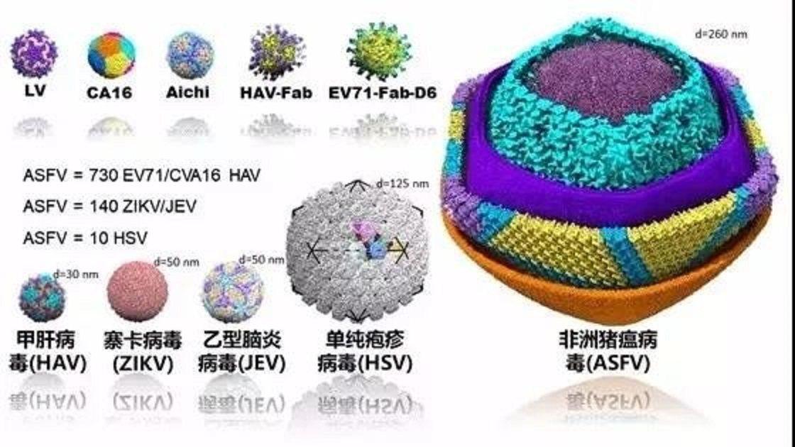 非洲豬瘟病毒與其他病毒對比圖。圖/中央廣電總台中國之聲微信公眾號