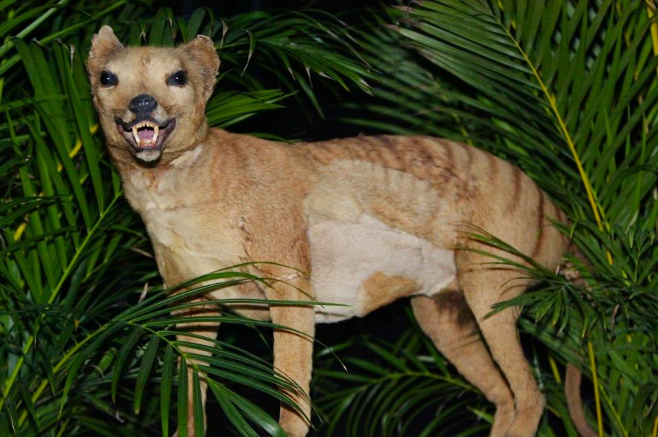 根據澳洲政府公布的資料,近3年來共有八起民眾目擊袋狼的案例。法新社