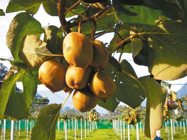 奇異果原產於中國,而現在南投也有種植。 本報資料照片