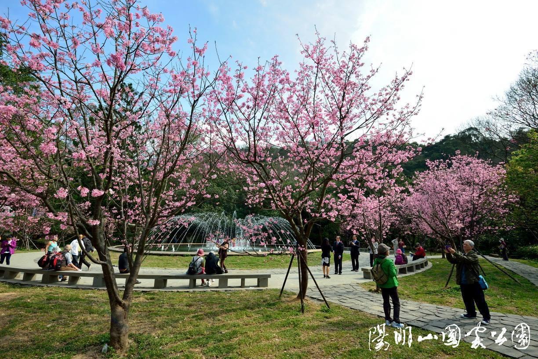 陽明公園噴水池內昭和櫻。圖/取自FB:陽明山國家公園