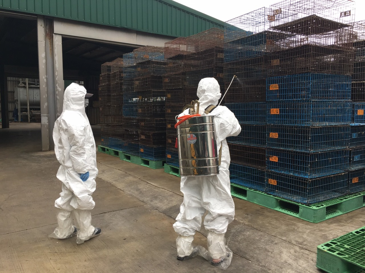 嘉義紅羽土雞送桃園屠宰感染H5N2亞型高病原性禽流感,市政府動保處接到通報,立即...
