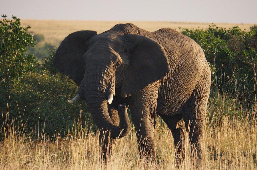 辛巴威現在陷入乾旱危機,已有55頭非洲象因乾旱身亡。(Photo on Wiki...