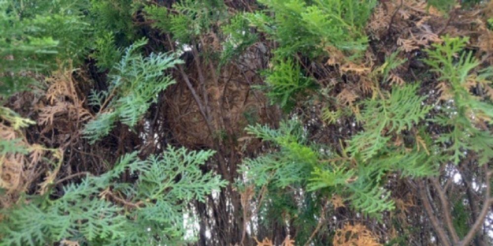 巨大蜂巢藏身在園藝行栽種的扁柏內,從遠處看不易發現。記者徐白櫻/翻攝