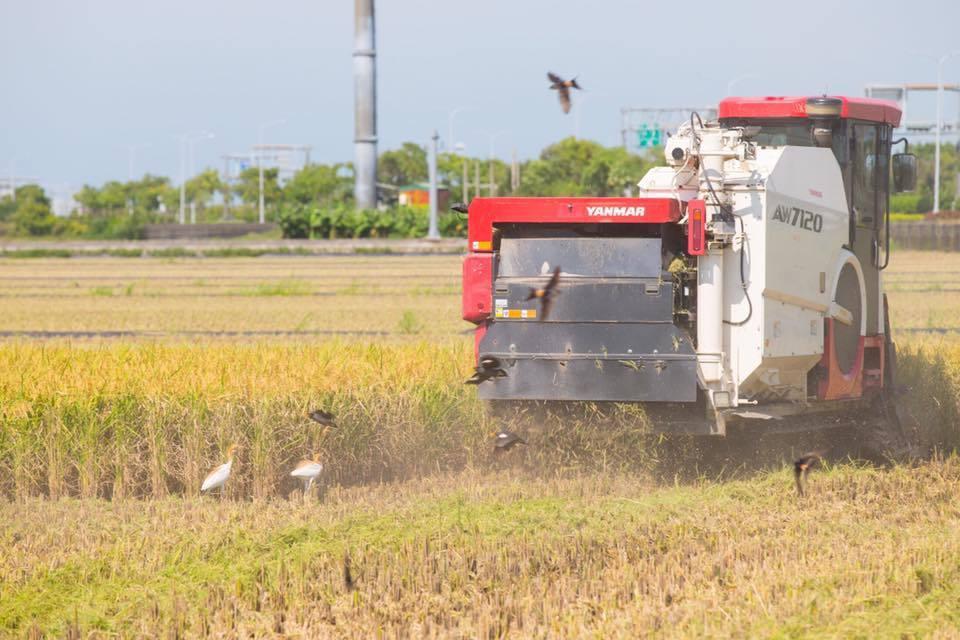 水稻保險保費,嘉義縣政府加碼補助至30%,圖為水稻收成情形。記者魯永明/攝影