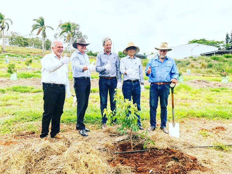 台灣荔枝澳洲試種。圖/農委會提供
