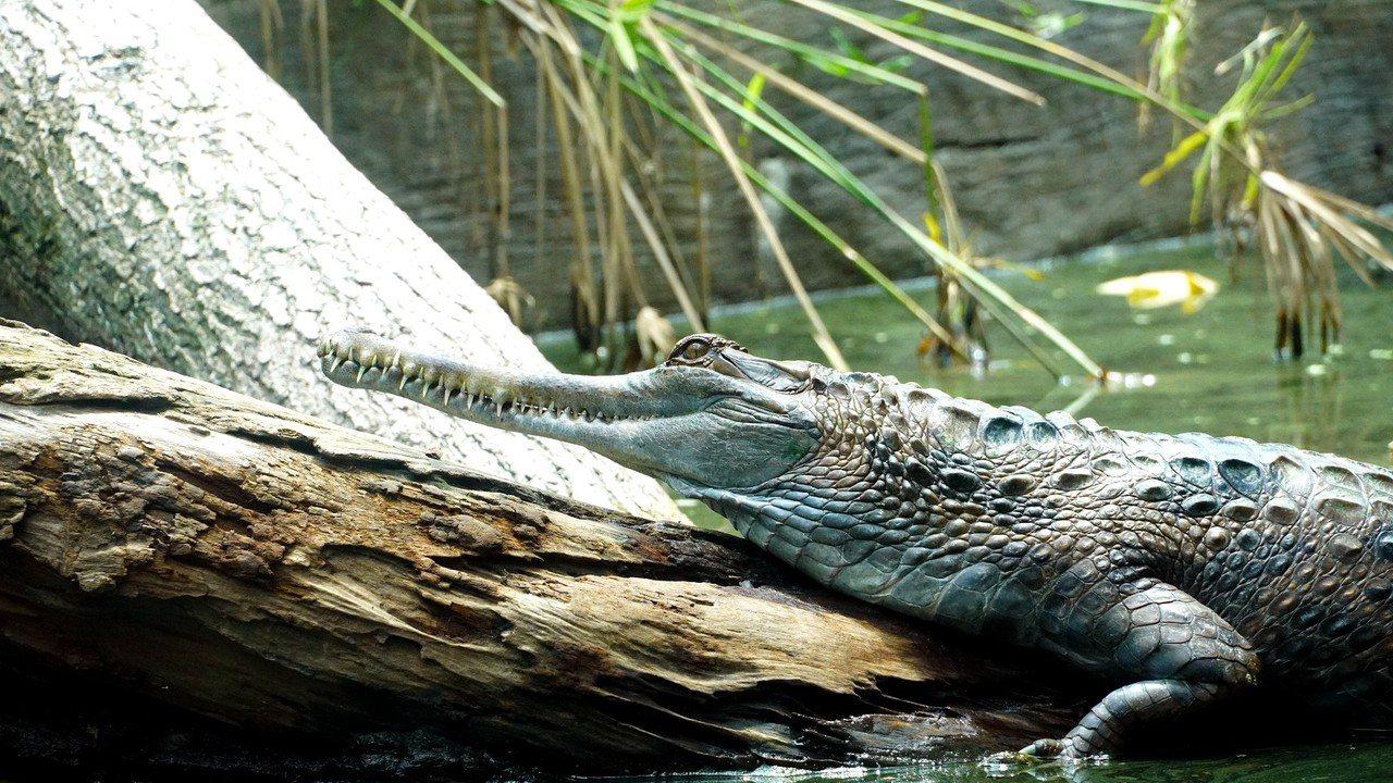 馬來長吻鱷。圖/台北市立動物園提供