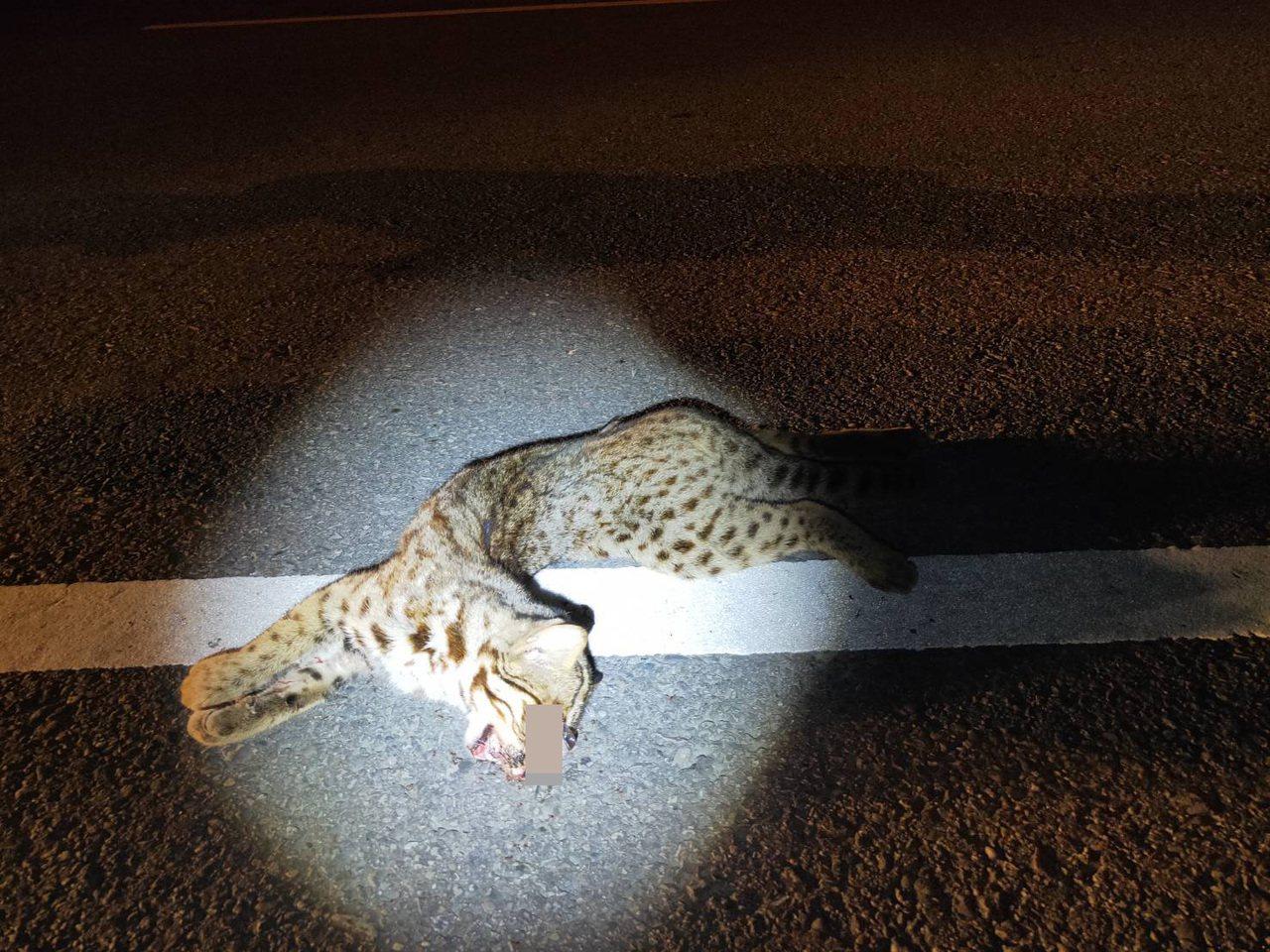 苗栗縣140縣道石虎路殺熱區,昨晚卓蘭路段發生1隻公石虎路殺事件。圖/民眾提供
