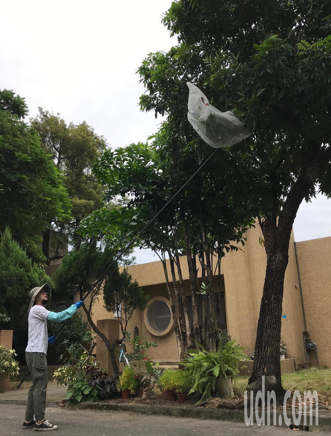 台中區農業改良場作物環境課于逸知博士示範如何利用捕蟲網捕捉樹上的荔枝椿象。記者何...