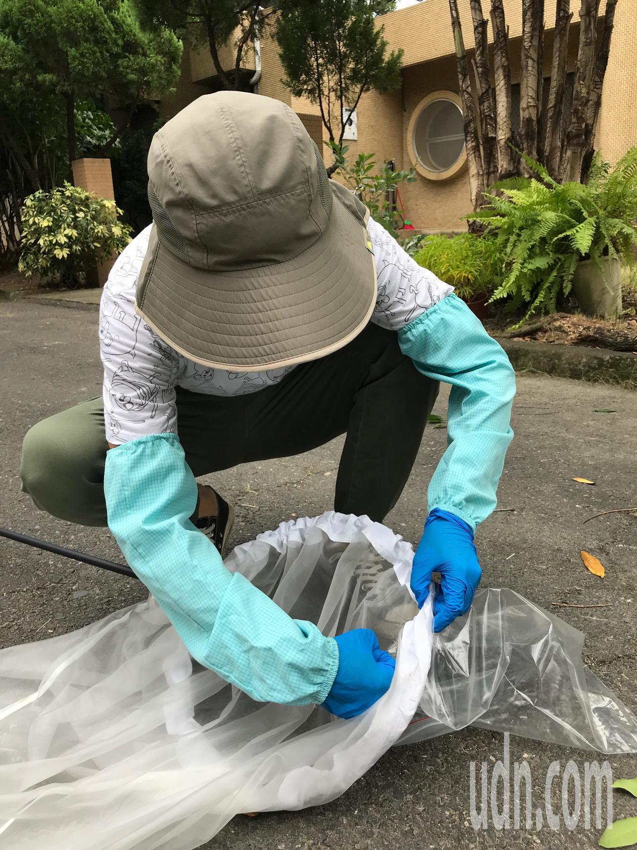台中區農業改良場作物環境課于逸知博士示範捕捉荔枝椿象後,如何移置到塑膠袋裡。記者...