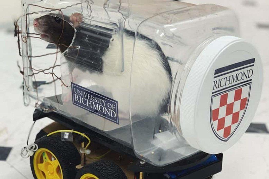美國維吉尼亞州里契蒙大學研究團隊近日發表研究,宣布他們教會老鼠開車覓食。同時也發...