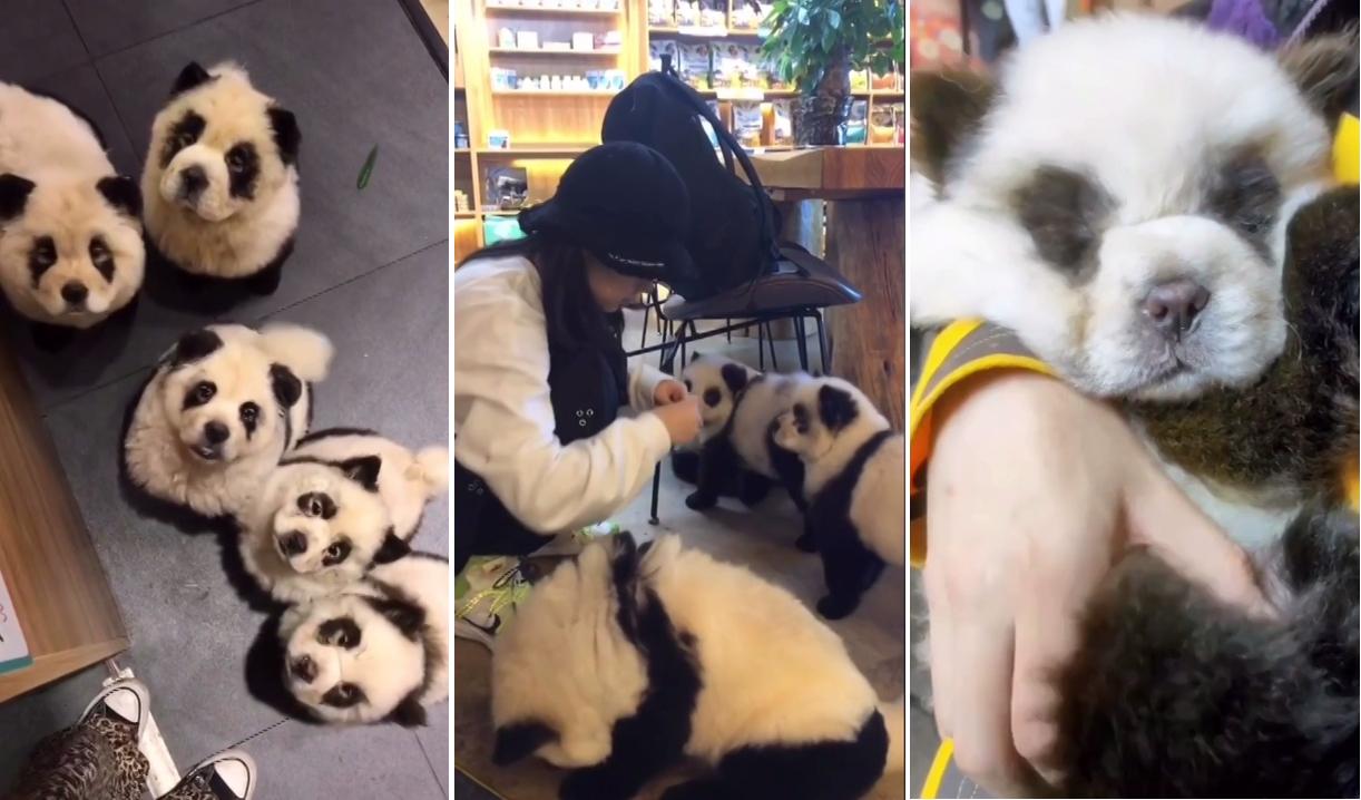中國成都一間寵物咖啡廳,把鬆獅犬染成熊貓樣,盼以此與其他寵物餐廳區隔,吸引更多顧...