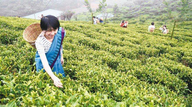 茶園採茶體驗。 圖/羅建怡