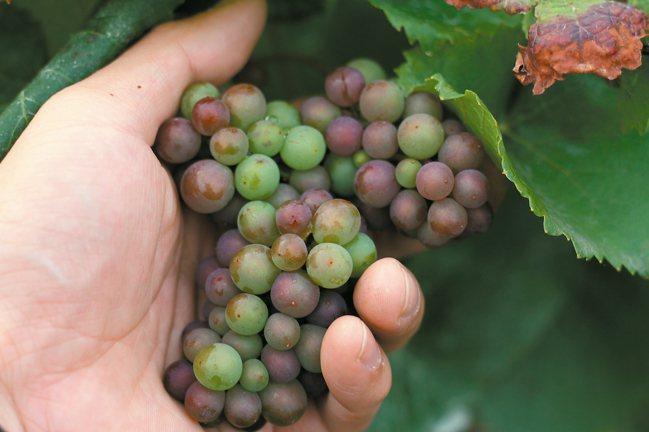 正在轉色期的Pinot Noir紅葡萄。 圖/何信緯