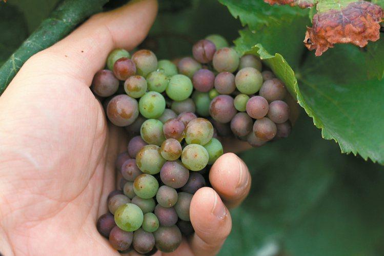 正在轉色期的Pinot Noir紅葡萄。圖/何信緯  ※ 提醒您:禁止酒駕 ...