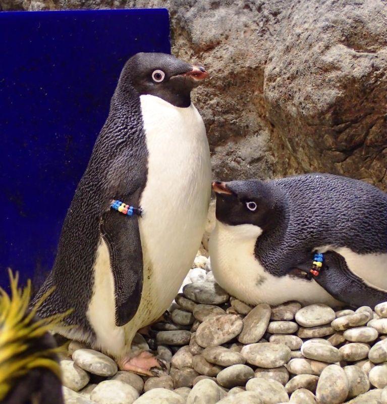 孵蛋中的阿德利企鵝爸媽。  屏東海生館 提供
