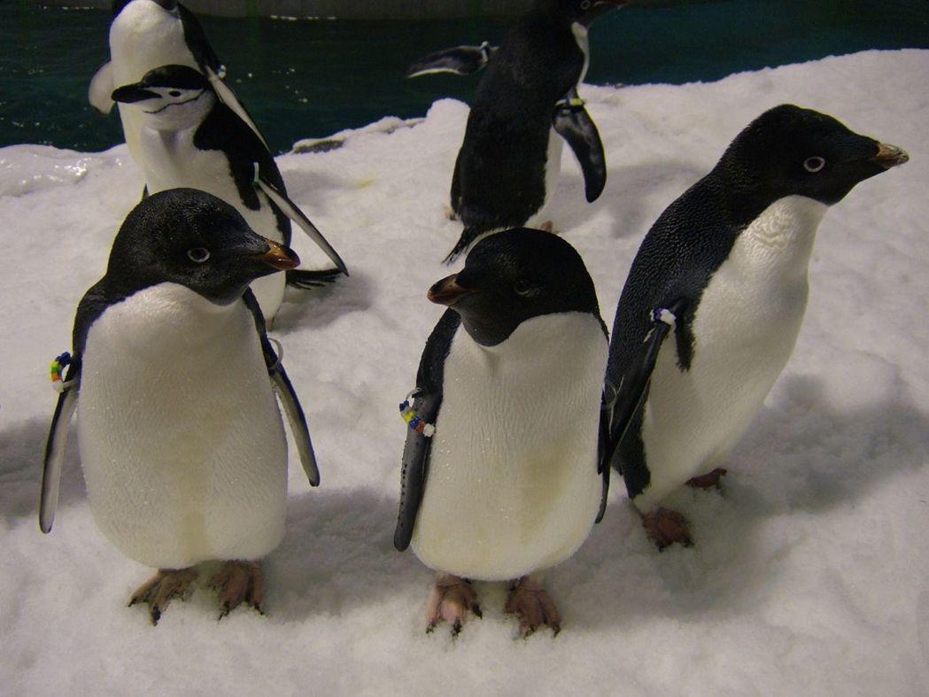 極地水域-阿德利企鵝。  屏東海生館 提供