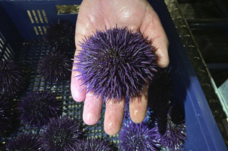 美國加州及奧勒岡州紫海膽暴增,破壞當地海洋生態系統。美聯社