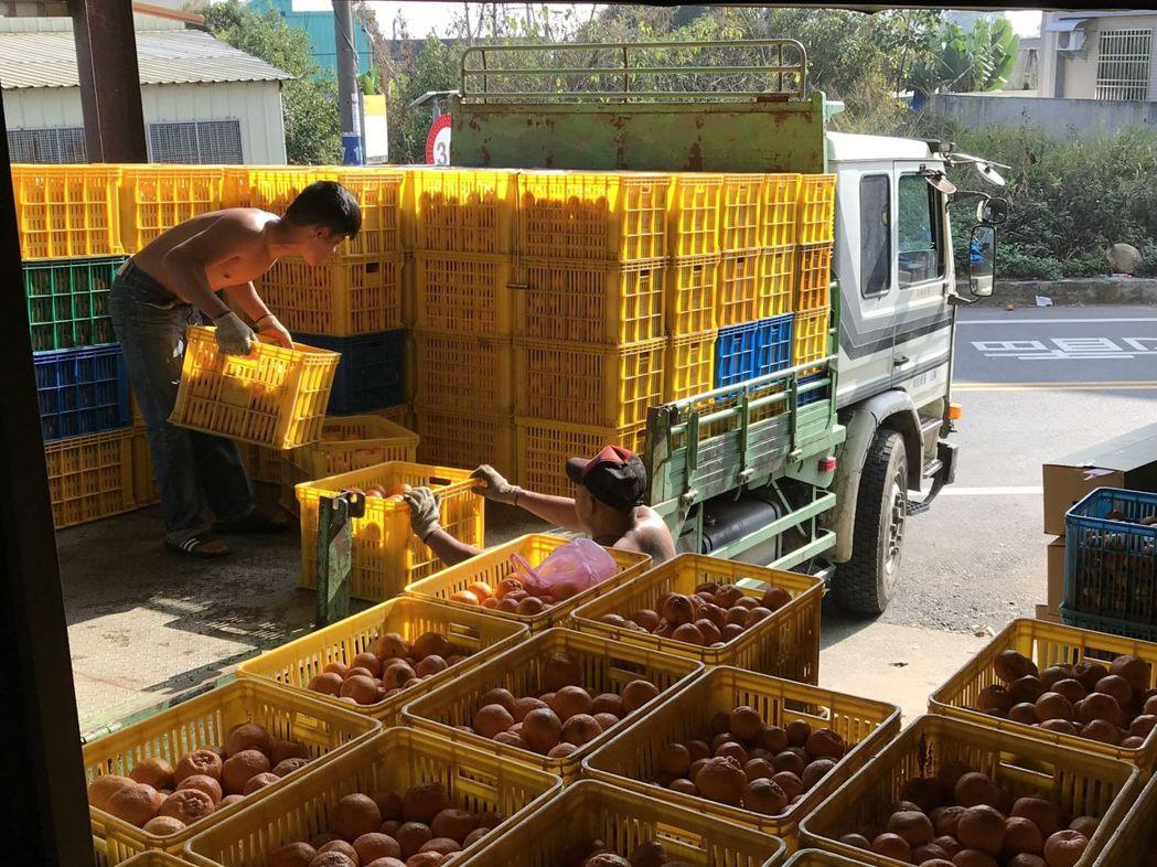 台中市新社區農會椪柑加工情形。圖/台中市政府農業局提供
