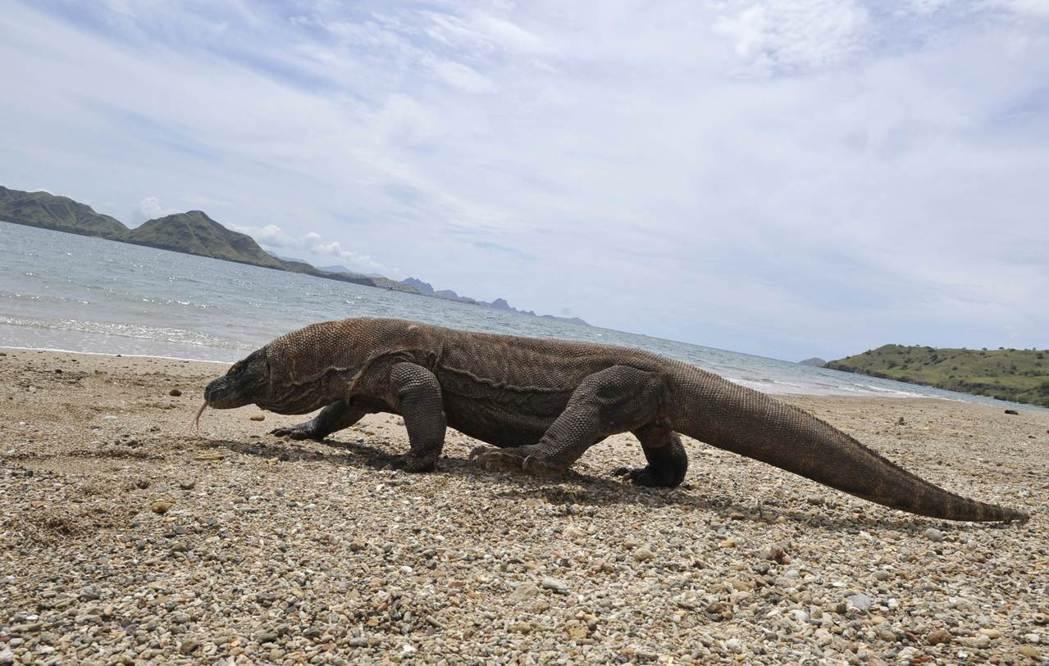 印尼官員為了保護世界最大蜥蜴科摩多龍的數量,打算自明年起閉島一年,後來打消念頭,...