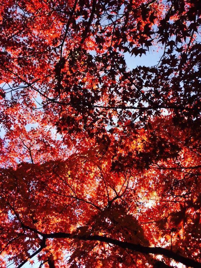 日本紅葉有多種不同顏色。記者陳智華╱攝影