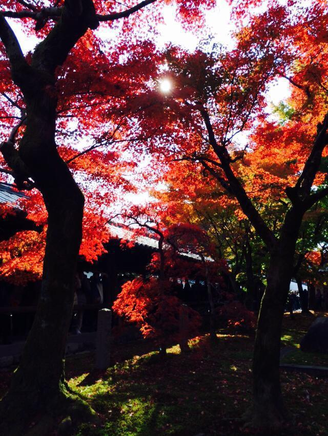 每年秋冬,不少民眾到日本賞紅葉。記者陳智華╱攝影