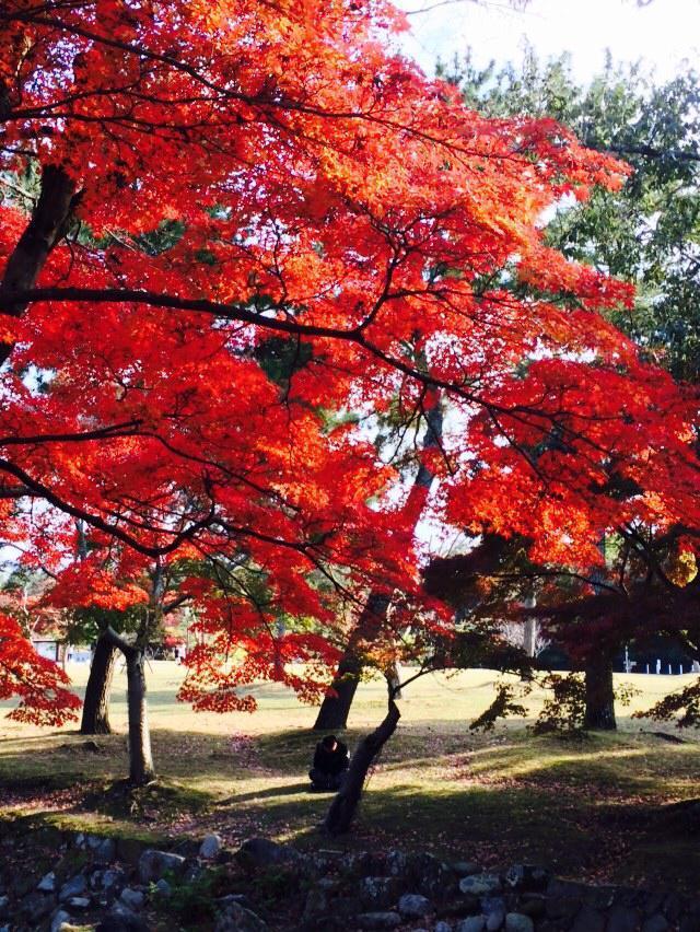 往年11月中旬就是奈良最佳賞紅葉的時間,今年恐延到11月下旬。記者陳智華╱攝影