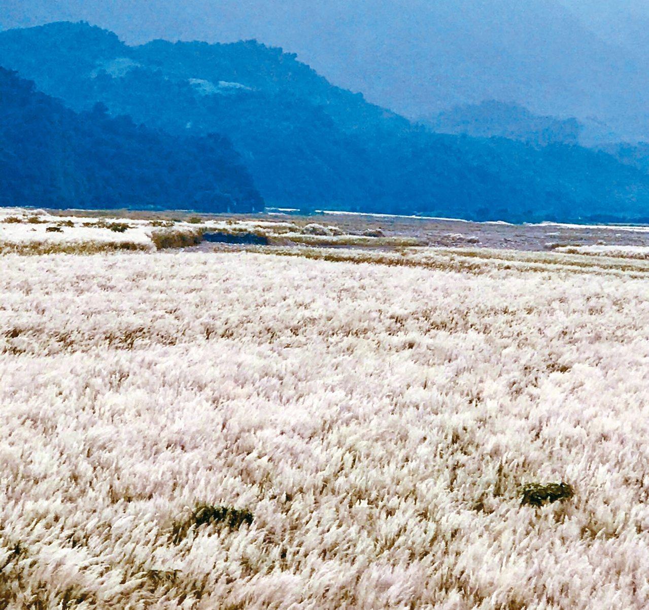 蘭陽溪畔銀白花穗隨風舞動,有如大地鋪白毯。 圖/第一河川局提供