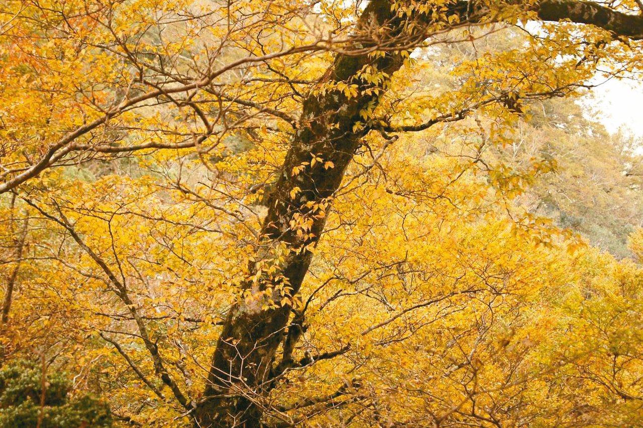 太平山山毛櫸綠葉轉金黃,搖曳空中與飄落地面的盡是金碧輝煌的山毛櫸葉,漂亮又詩意。...
