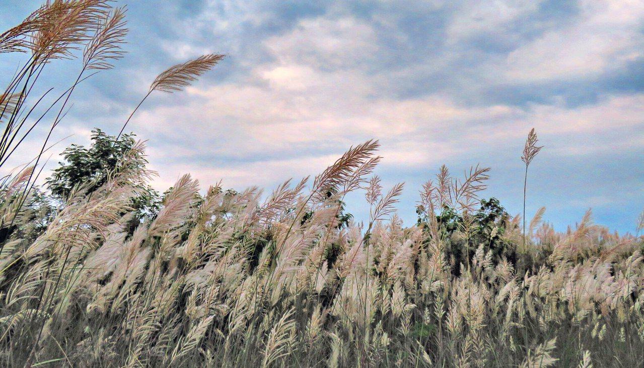 深秋要入初冬,宜蘭出現季節限定的美景,蘭陽溪畔的甜根子草盛開。圖/第一河川局提供