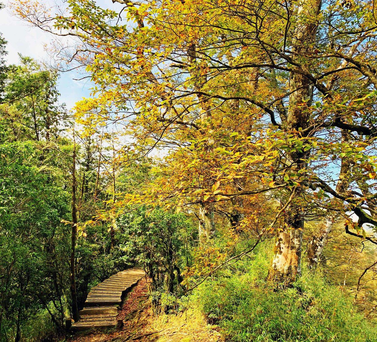 太平山山毛櫸綠葉轉金黃,漂亮又詩意。圖/林務局羅東林區管理處提供
