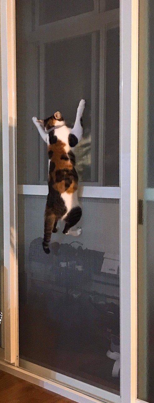 連俞涵的愛貓跳到紗門上,崩潰的樣子。圖/連俞涵提供