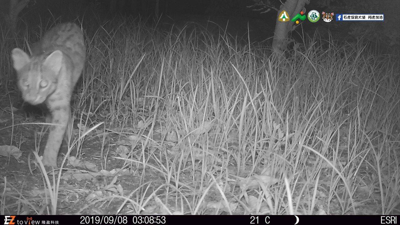 南投中寮參與友善石虎生態給付農地所拍攝到的石虎。圖/農委會林務局提供