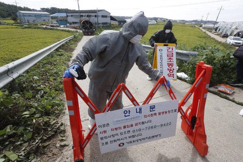 南韓坡州市9月爆發豬瘟疫情。美聯社