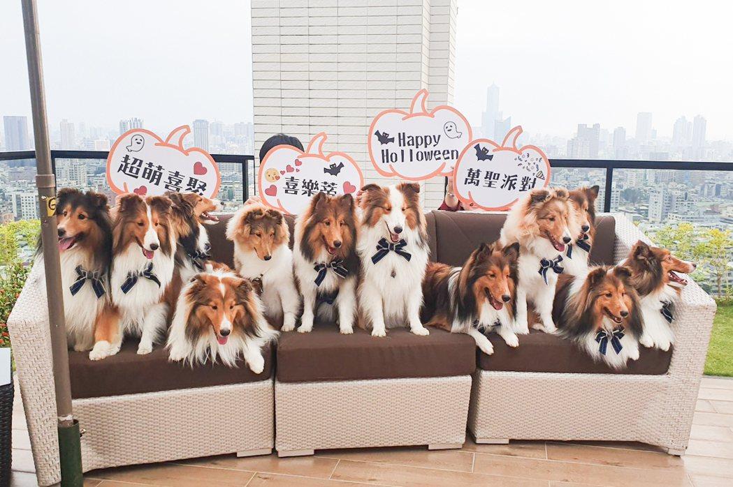 13隻喜樂蒂牧羊犬歡聚過萬聖節。 圖片提供/城揚建設