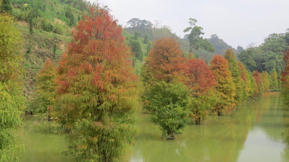 台3線101落羽松秘境整齊種了上百棵,地主蘇盛泉認為美極了,不吝於分享。