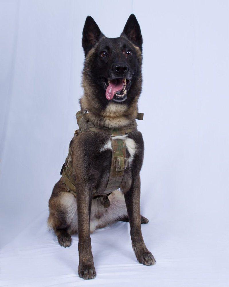 追擊IS首腦巴格達迪任務負傷的唯一美軍─這隻比利時瑪利諾犬。圖/擷自川普推特