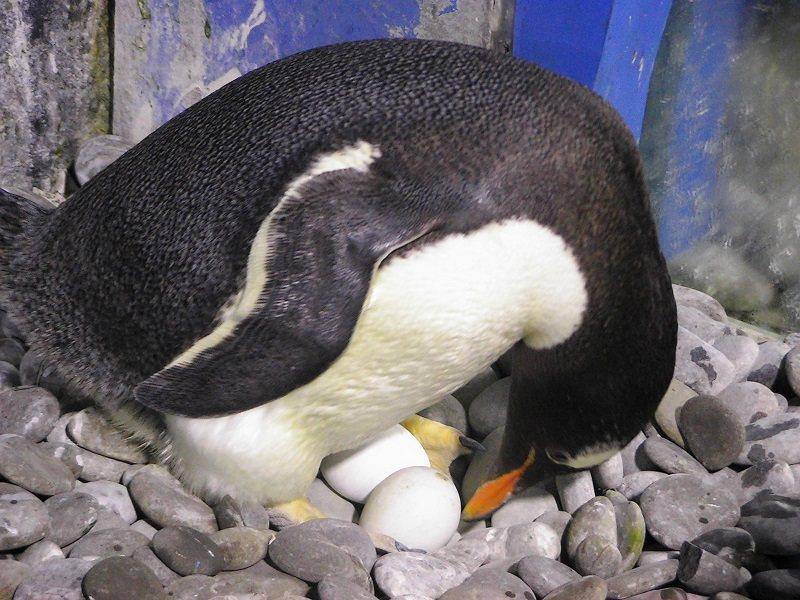 海生館的企鵝進孵育期,可看到一對對企鵝夫妻輪流孵蛋。圖/海生館提供