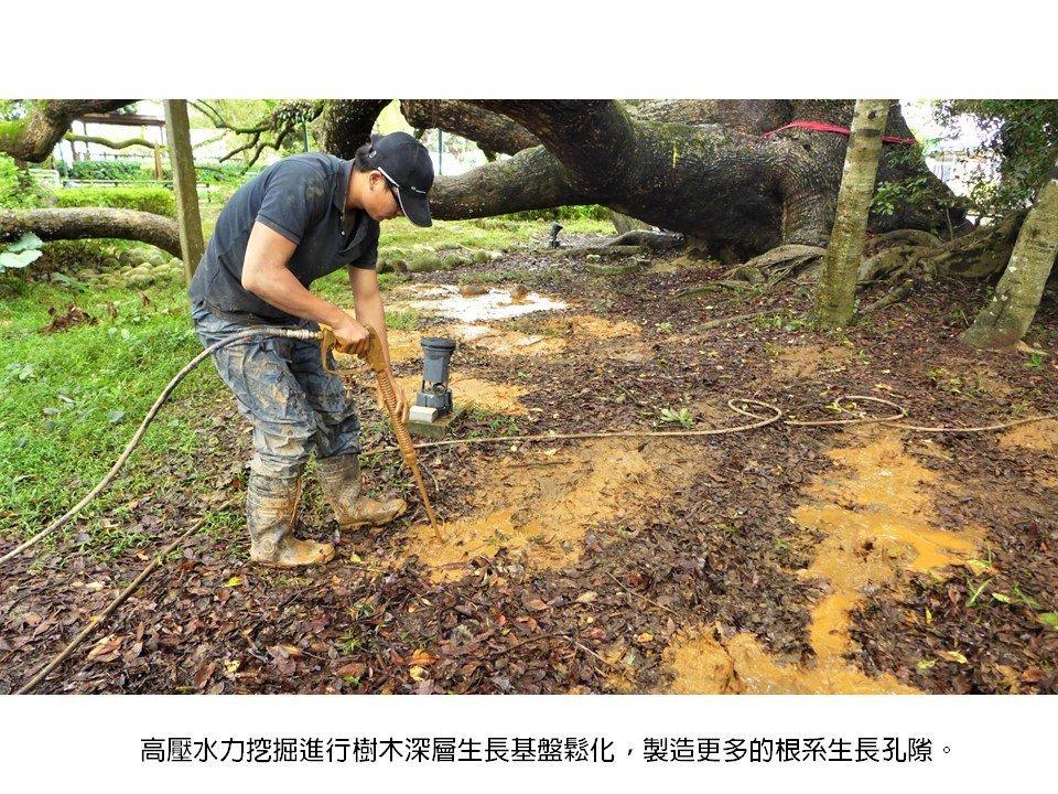 台灣老樹救援協會搶救石岡神木,現場打了近千個透氣排水孔。圖/台灣老樹救援協會提供