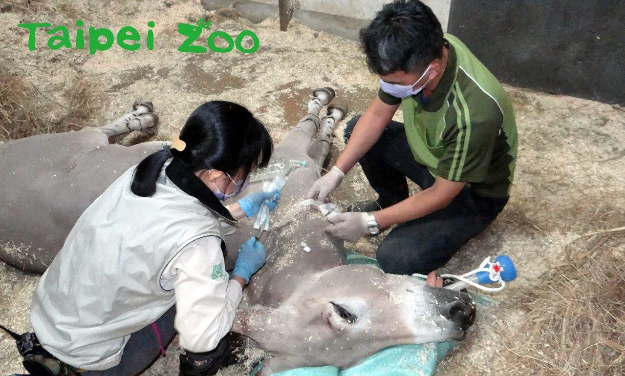 獸醫為非洲野驢健檢。圖/台北市立動物園提供