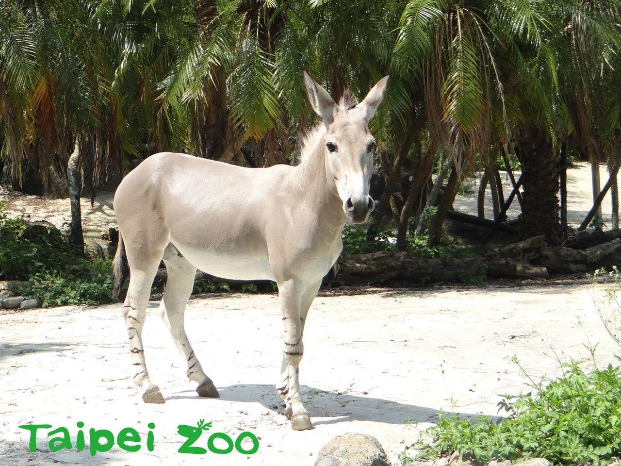 公非洲野驢「Lucas」率先接受健檢。圖/台北市立動物園提供