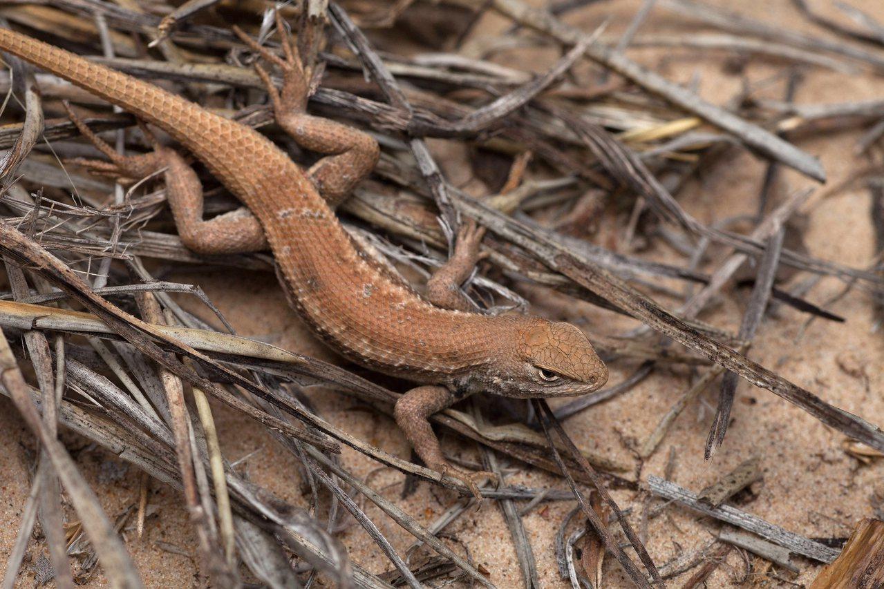 研究顯示,在氣溫上升兩度的環境中,蜥蜴吃得較不健康。美聯社