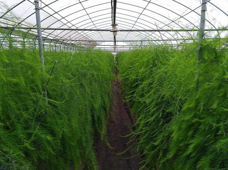 彰化縣農會的埤頭農場蘆筍園採溫室栽培,深秋仍綠意盎然,可採收到年底。照片/縣農會提供