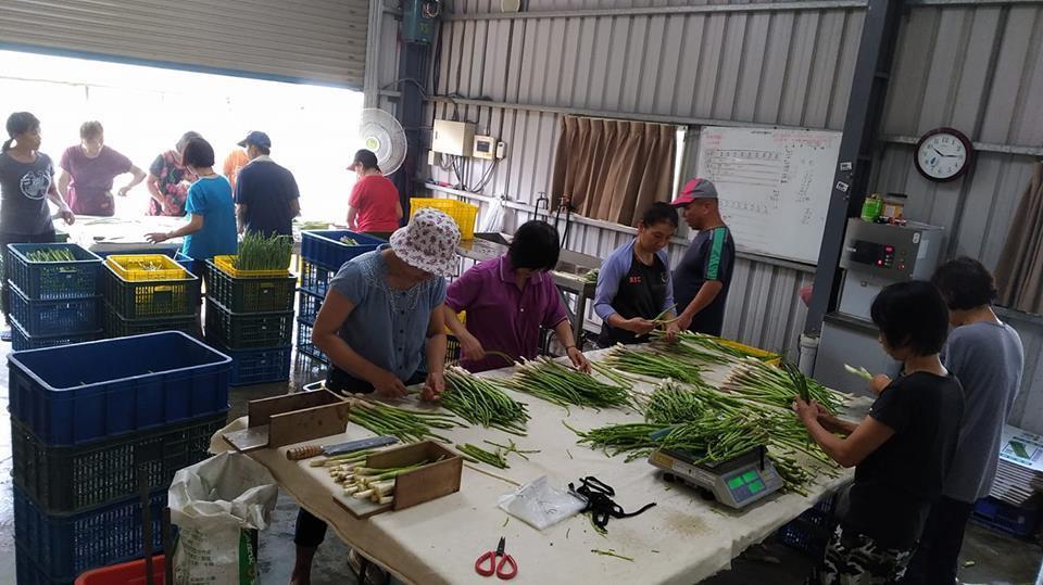 彰化縣農會的埤頭農場蘆筍園採溫室栽培,工作人員忙著處理剛採收的新鮮蘆筍。照片/縣...