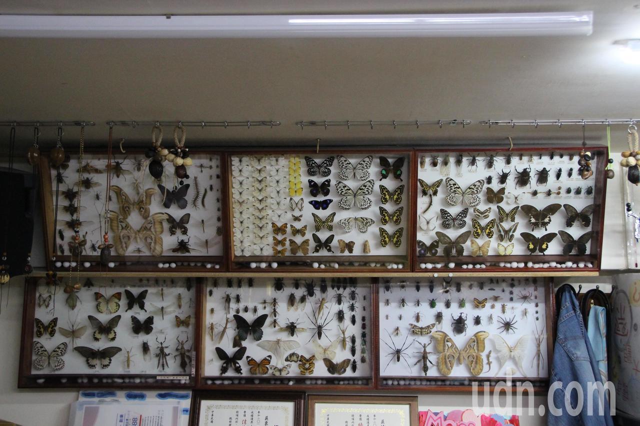埔心鄉民劉華山夫妻家中掛了許多昆蟲標本。記者林敬家/攝影