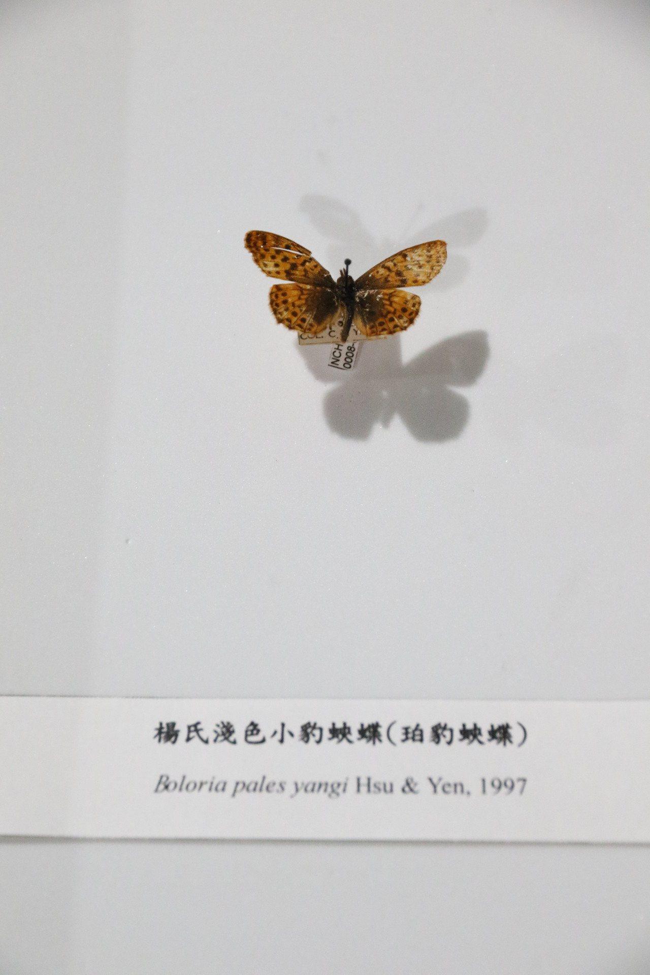 1997年發表楊氏淺色小豹蛺蝶,是楊仲圖教授在1964年於梨山採得,之後再也無人...