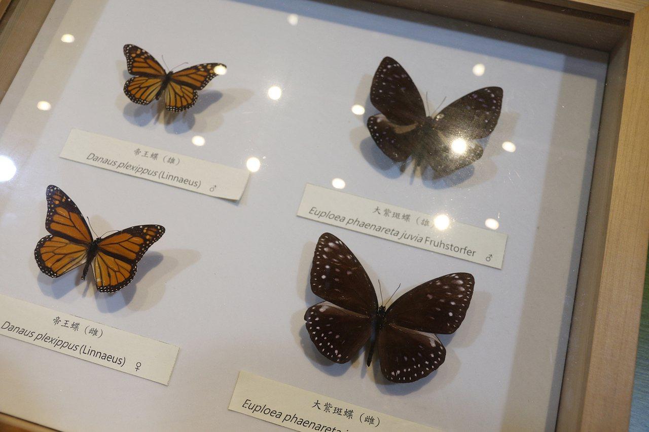 興大、科博館合辦蝴蝶展,現場有科博館典藏已滅絕的帝王蝶和大紫斑蝶標本。記者喻文玟...