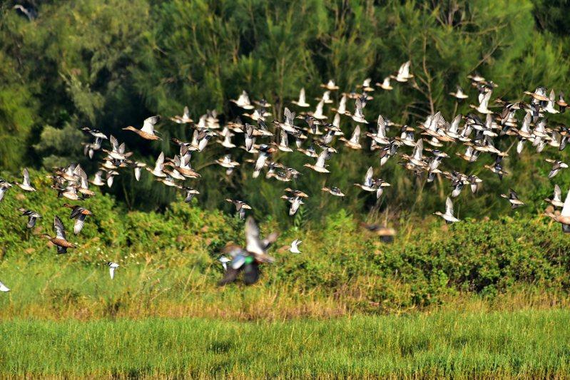 新竹市秋水鳥季活動11月9日在金城湖展開,市府產發處歡迎大家來金城湖欣賞水鳥。圖/市府提供