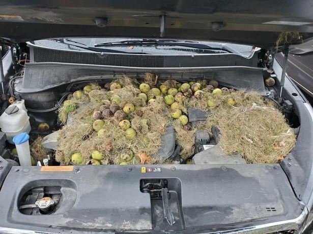 美國匹茲堡婦女荷莉的車子引擎室變松鼠的倉庫。取自每日鏡報